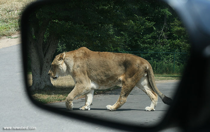 Lion in the side view mirror