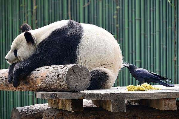 I love pandas, they are so cute